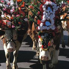 Heimfahrt der Stiedler Kühe