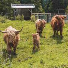 Highland-Rinder Grosslehen-Farm